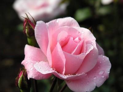 精油小课堂 | 芳香世家与你细说玫瑰精油的那些事!