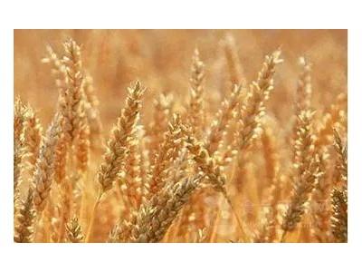 有关小麦胚芽油的精油知识,芳香世家一次性给您讲清楚!