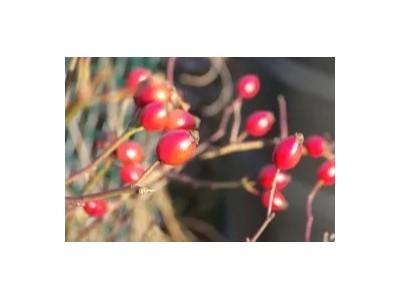 精油代加工厂——芳香世家玫瑰果油,提亮保湿基础油!