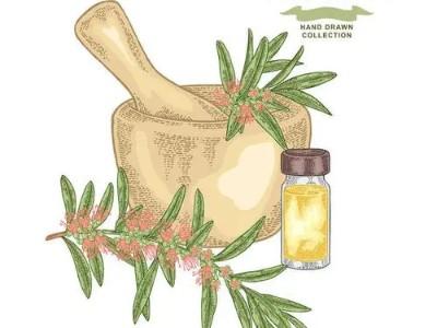 精油代加工   茶树精油为您夏季健康保驾护航!